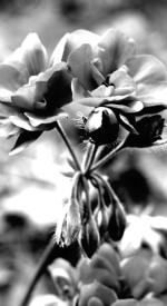 Geranium wonder