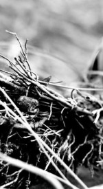Robins nest, closeup