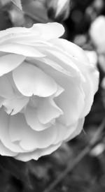 White Floribunda