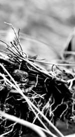 Robins nest, closeup